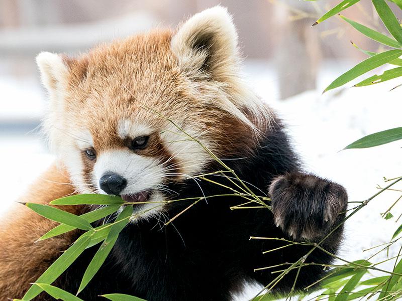 円山動物園の双子レッサーパンダ ギン