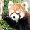 大好きな孟宗竹を食べるレッサーパンダ