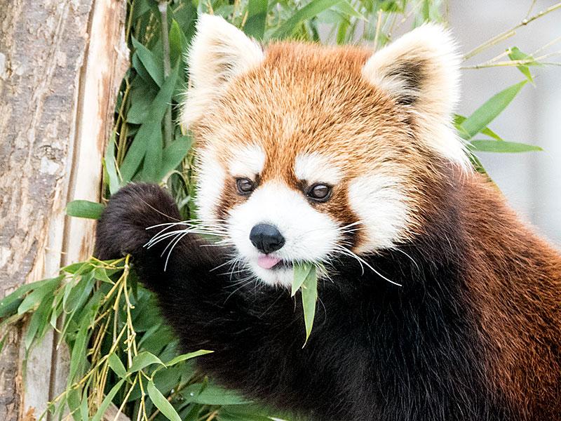 円山動物園の双子レッサーパンダ キン