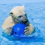 モノで遊ぶホッキョクグマの赤ちゃん