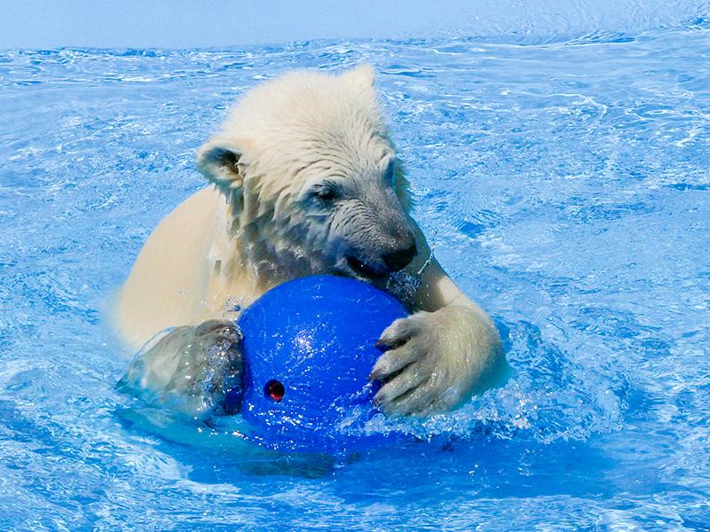 ボールで遊ぶホッキョクグマの赤ちゃん