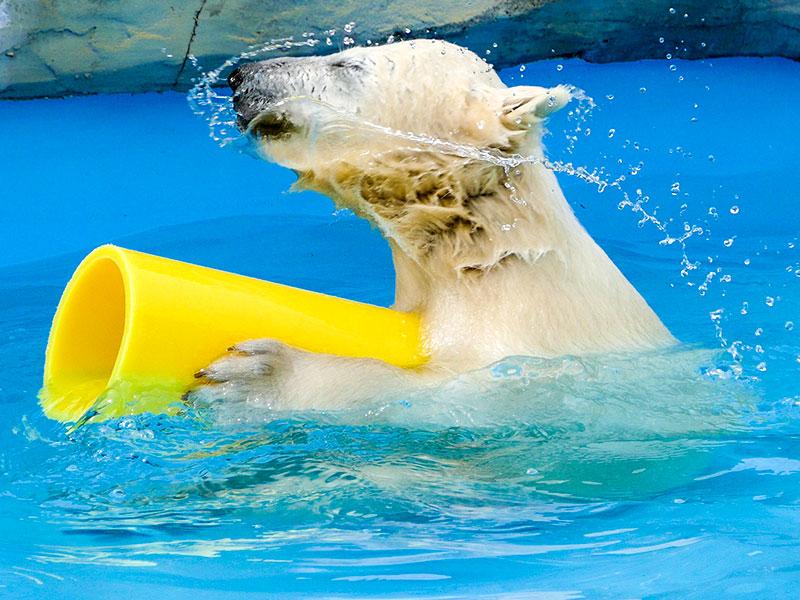 黄色いガス管で遊ぶホッキョクグマの赤ちゃん