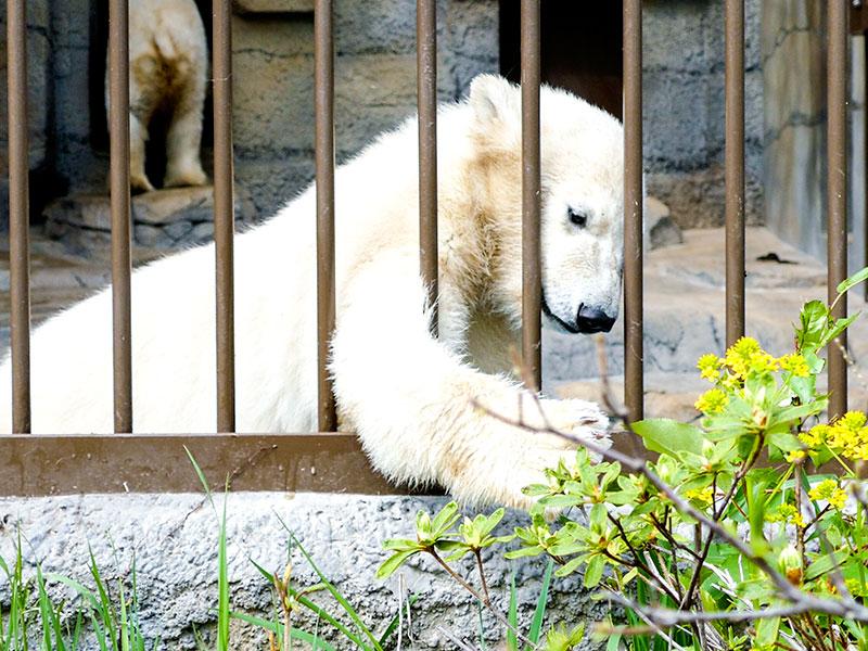 円山動物園のホッキョクグマの赤ちゃん