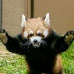 親子バトル・・・レッサーパンダのココとギン