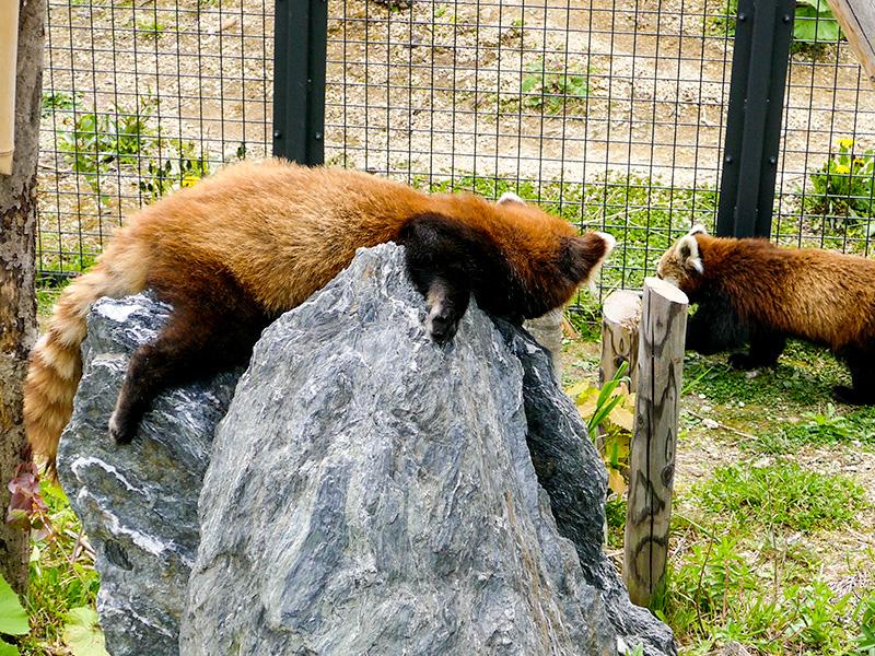 レッサーパンダのココとギン
