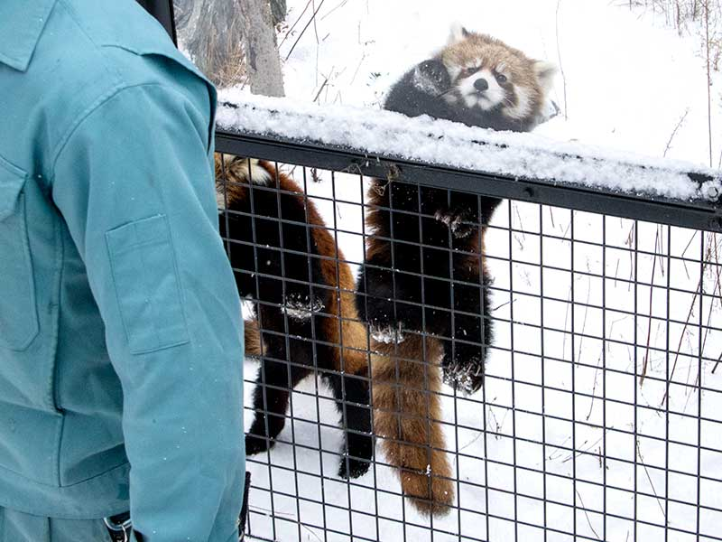 レッサーパンダのホクト