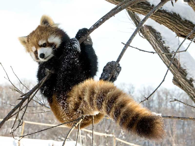 レッサーパンダのキン