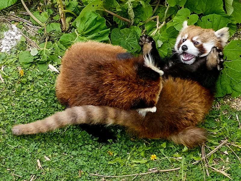 円山動物園のレッサーパンダ、ホクト