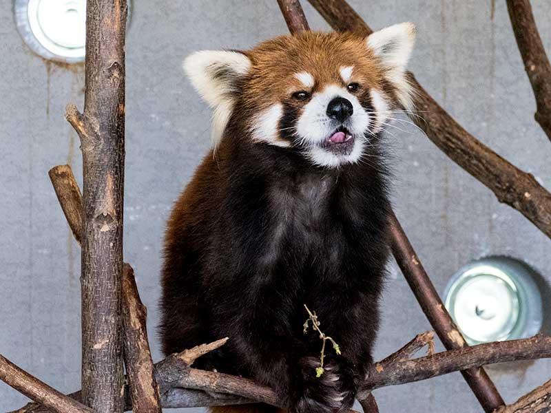 円山動物園のエイタ