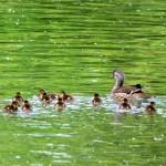 中島公園に鴨の親子とおしどりの親子が