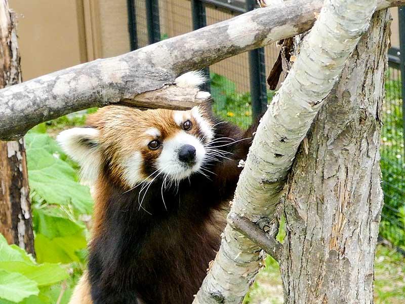 円山動物園のレッサーパンダ、セイタ