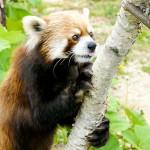 かわいいおっさんレッサーパンダ、セイタ