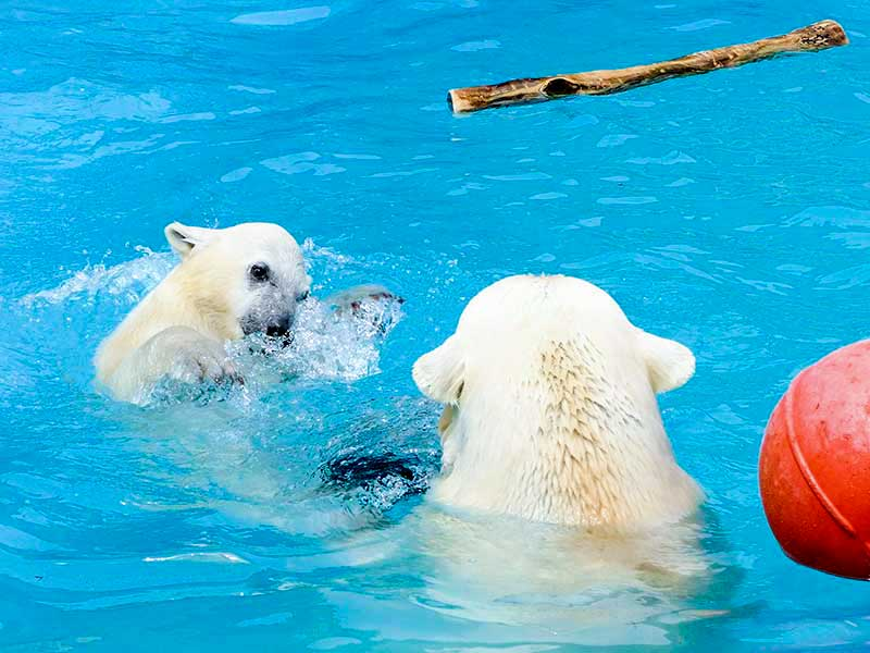 ホッキョクグマの母ララと子熊ちゃん