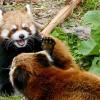ココとホクトは仲いい親子レッサーパンダ