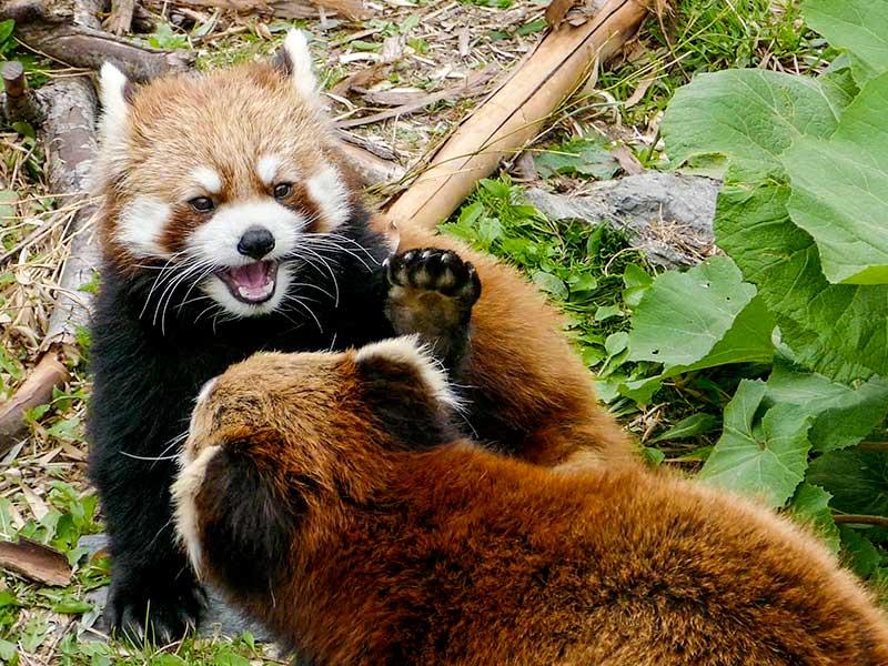 円山動物園のレッサーパンダ、ココ