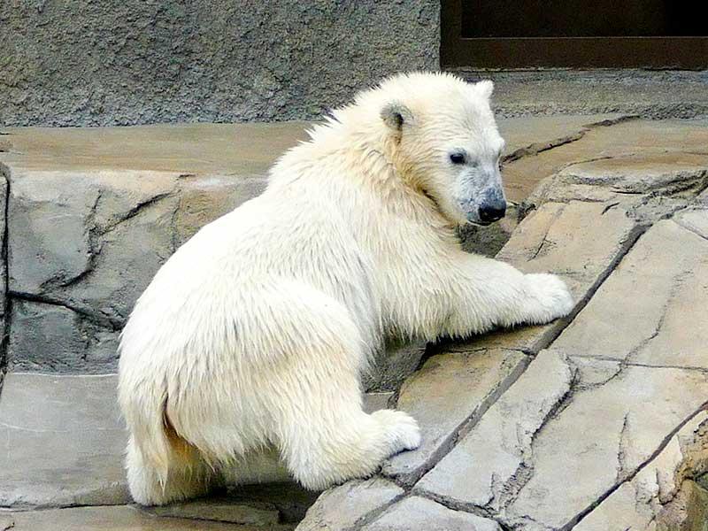 円山動物園のホッキョクグマのチビちゃん