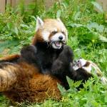 仲良しレッサーパンダ親子、ココとホクト