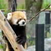 朝食は屋内で・・・・・・円山動物園のお父さんレッサーパンダのセイタ