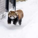 雪の中のレッサーパンダはスバラシイ