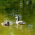 中島公園の鴨たち