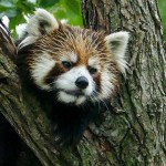 7月11日は誕生日っ! 円山動物園のホクト