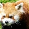 久しぶりにココ・・・円山動物園のお母さんレッサーパンダ