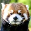 まったりレッサーパンダ・・・円山動物園のエイタ