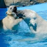 お母さんと一緒・・・円山動物園のホッキョクグマ