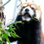 キンちゃん、ひたすら孟宗竹を食す