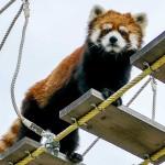 吊り橋の向こう側・・・円山動物園のレッサーパンダ、キン