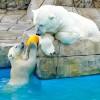 黄色い玉とお母さん・・・円山動物園のホッキョクグマ