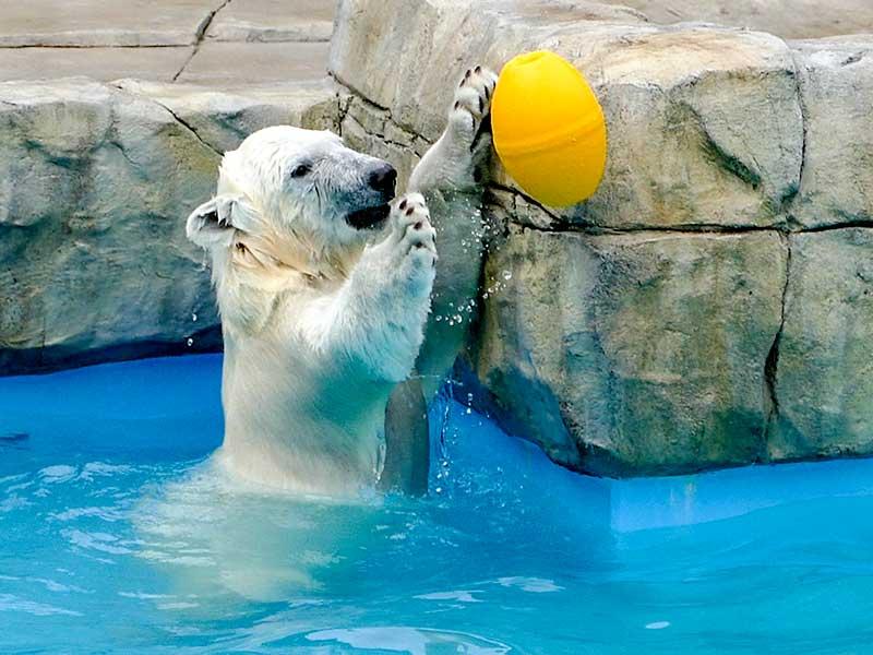 円山動物園のホッキョクグマ