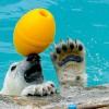 黄色い玉がお気に入り・・・円山動物園のホッキョクグマ
