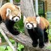 姉と弟の緊張感! 円山動物園のレッサーパンダ