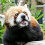 円山のお父さんレッサーパンダ・・・セイタ