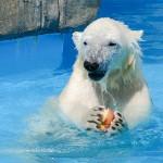 朝ご飯うまうまうま〜♪ 円山動物園のホッキョクグマの親子