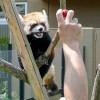 お母さんレッサーパンダのココは赤いブドウがスキっ