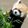 円山動物園のお母さんレッサーパンダ、ココは超美形