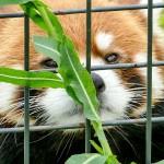 隣の草をチェックするレッサーパンダのエイタ