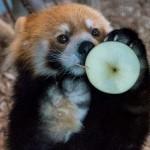 なにをやってもかわいらしいレッサーパンダのセイタ