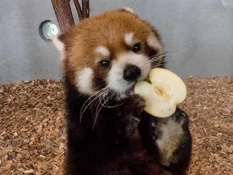 レッサーパンダのエイタ