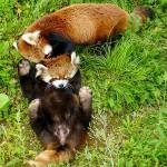 ココとホクト・・・円山動物園の母子レッサー
