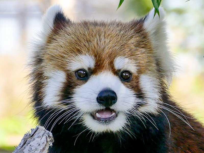 Illustrations For Childrens Book Red Panda Red Panda