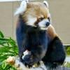 高いとこが苦手なレッサーパンダ・・・セイタ
