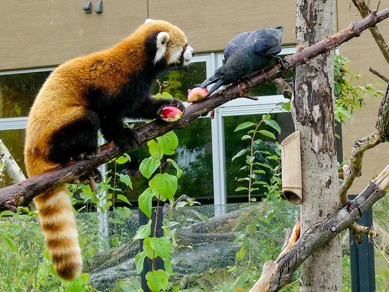 レッサーパンダのセイタとカラス