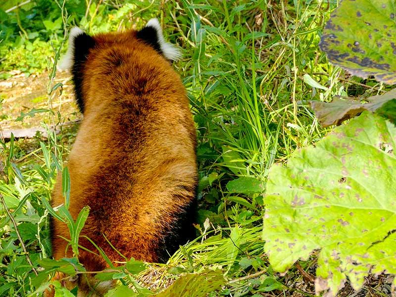 レッサーパンダのセイタ