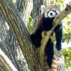 お気に入りの場所でまったりするレッサーパンダのキン