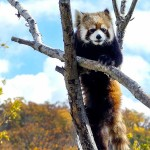 なんかおもろい!円山動物園のレッサーパンダのホクト