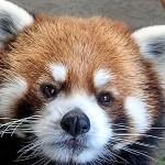 円山動物園のレッサーパンダ・・・エイタ