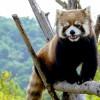 9月のホクト・・・円山動物園のレッサーパンダ